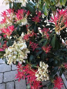 PIERIS   'Forest Flame'  AGM