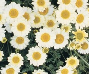 ANTHEMIS 'Susanna Michell'